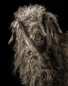 بالصور…أغرب وأجمل الماعز في العالم