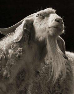 أغرب وأجمل الماعز في العالم