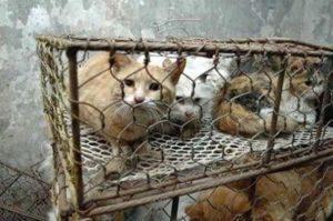 القطط وحقوقهن المسلوبه في الصين