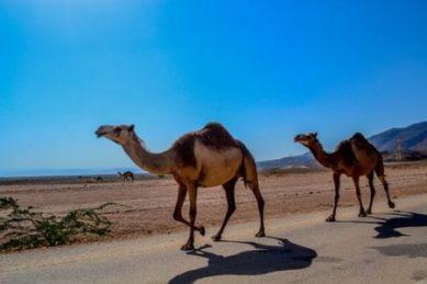صورة جمل في صحراء
