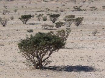 اشجار في صحراء