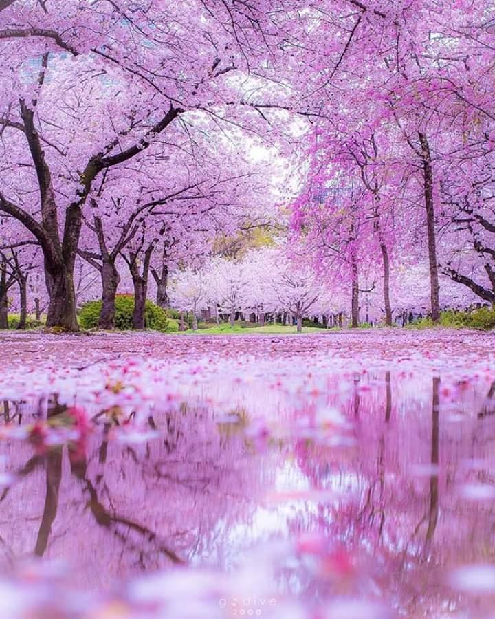 زهور شجرة الساكورا