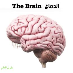 الدماغ - حلول العالم