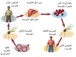 صورة عن مرض الملاريا Malaria