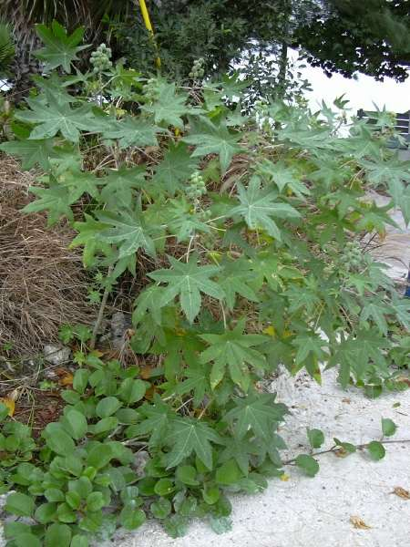 شجره الخروع Castor oil